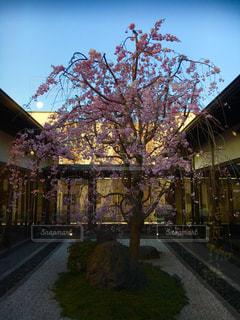 中庭の桜の写真・画像素材[1827958]