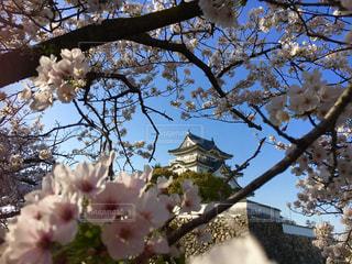 桜の額の写真・画像素材[1827968]