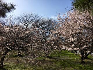 公園の桜の写真・画像素材[1828188]