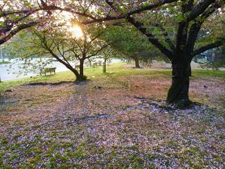 桜のじゅうたんの写真・画像素材[1833810]