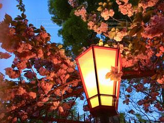 八重桜の写真・画像素材[1840010]