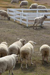 羊草の群れの写真・画像素材[1860170]