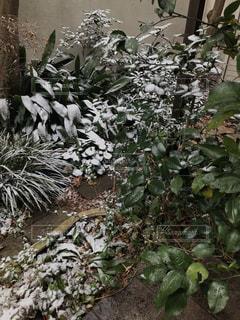 庭の植物に小雪の写真・画像素材[1779892]