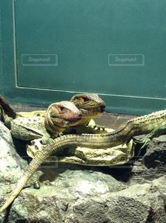 仲良しなアオホソオオトカゲの写真・画像素材[1781450]