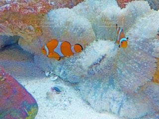 サンゴとカクレクマノミの写真・画像素材[1789695]