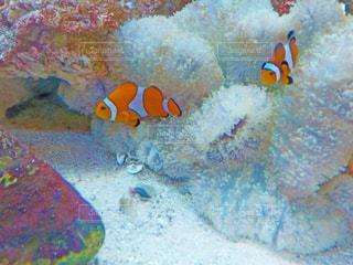 サンゴとカクレクマノミの写真・画像素材[1794734]