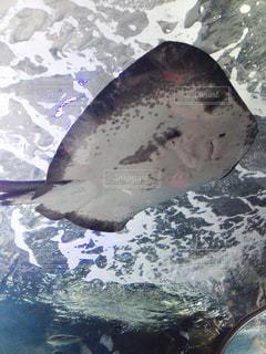 水族館のエイの写真・画像素材[1800515]