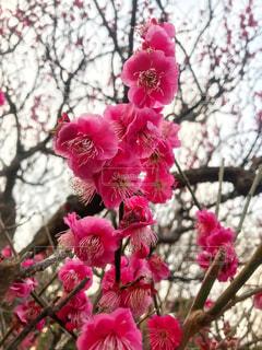 梅の花の写真・画像素材[1810300]