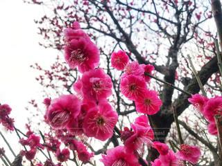 梅の花の写真・画像素材[1810314]