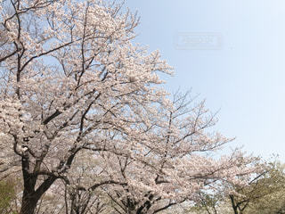 桜並木と空の写真・画像素材[1986691]