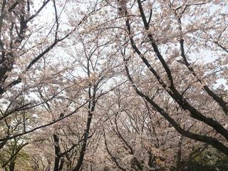 桜の木々の写真・画像素材[1986694]