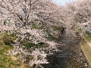川沿いの桜並木の写真・画像素材[1986902]