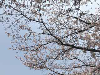 桜と空の写真・画像素材[1986904]