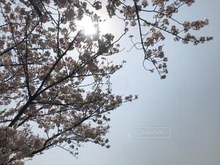 桜の花と木漏れ日の写真・画像素材[1986912]