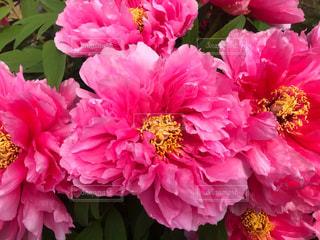 ピンクの牡丹の花の写真・画像素材[2086666]