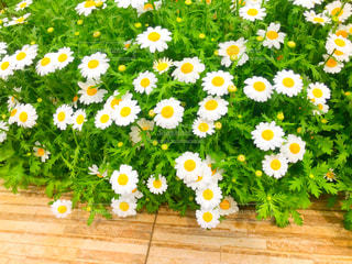 白い小花の庭の写真・画像素材[2086714]