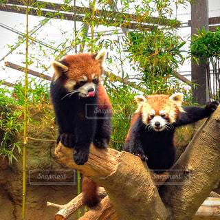 レッサーパンダの写真・画像素材[1782022]