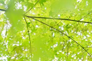 夏の青紅葉の写真・画像素材[1822548]