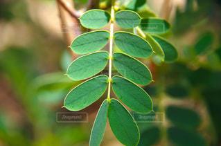アフリカのエチオピア、森に生えてる小ぶりな可愛い植物。の写真・画像素材[1823709]