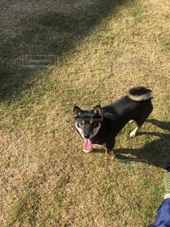 芝生の上の小さな黒い犬立っての写真・画像素材[1789552]