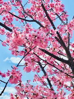 木の枝にピンク色の花のグループの写真・画像素材[1868414]