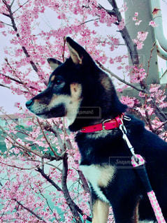 桜と柴犬の写真・画像素材[3070421]