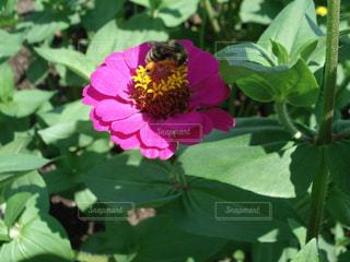 蜜を集める蜂の写真・画像素材[1789607]