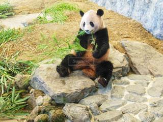 笹を食べるパンダの写真・画像素材[1806633]