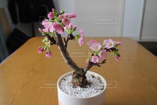 桜の盆栽の写真・画像素材[1981621]