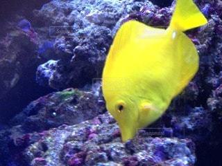 熱帯魚の写真・画像素材[68194]