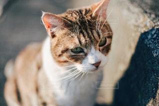 上目遣いの猫の写真・画像素材[2218413]