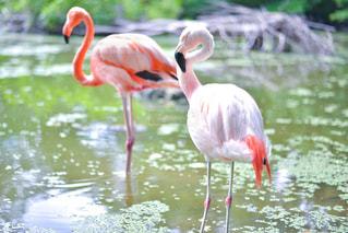 池に立つフラミンゴの写真・画像素材[2218438]