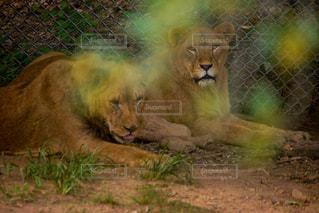 草の上に横たわるライオンの写真・画像素材[2218446]