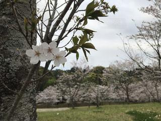 葉桜の写真・画像素材[2004773]