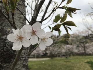 葉桜の写真・画像素材[2004775]