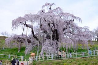 三春滝桜の写真・画像素材[1789534]