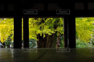 新宮熊野神社の大銀杏の写真・画像素材[2828196]
