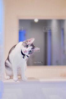 カウンターに座っている猫の写真・画像素材[1789844]
