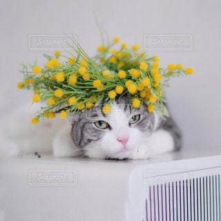黄色い花の上に座って猫の写真・画像素材[1800368]