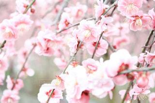 梅の花の写真・画像素材[1830521]