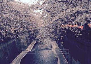 目黒川の桜の写真・画像素材[1952734]