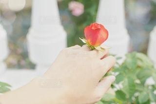 女性の手と指輪と薔薇の写真・画像素材[2741825]