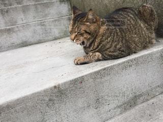 あくび中の猫の写真・画像素材[1790002]
