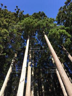 秋空の針葉樹の写真・画像素材[1794427]