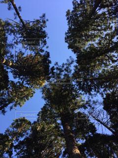 秋空の針葉樹の写真・画像素材[1794429]