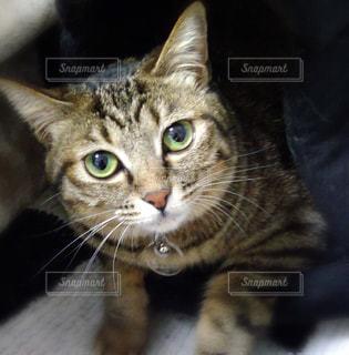 カメラを見ている猫の写真・画像素材[1801732]