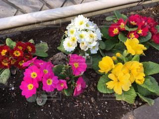 花の写真・画像素材[2703106]