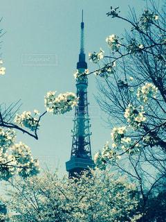 桜と東京タワーの写真・画像素材[1791923]