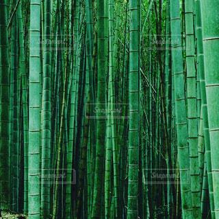 深緑の竹藪の写真・画像素材[1791960]