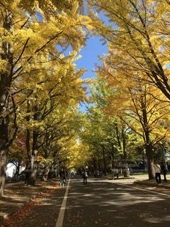 北海道大学のイチョウ並木の写真・画像素材[1792971]